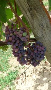 Precious grapes